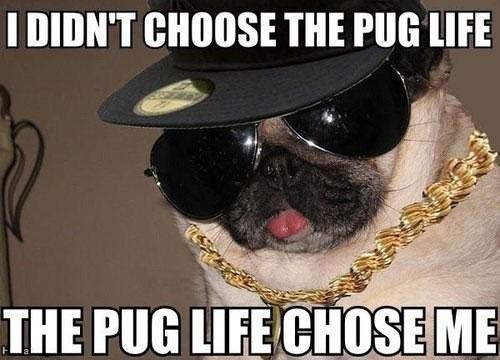 dog-pug-life