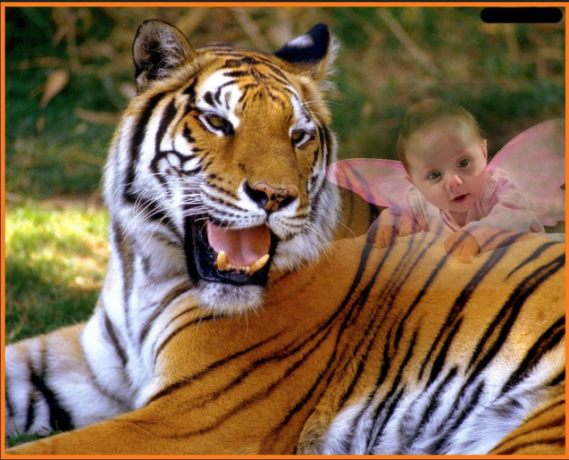 tiger photography