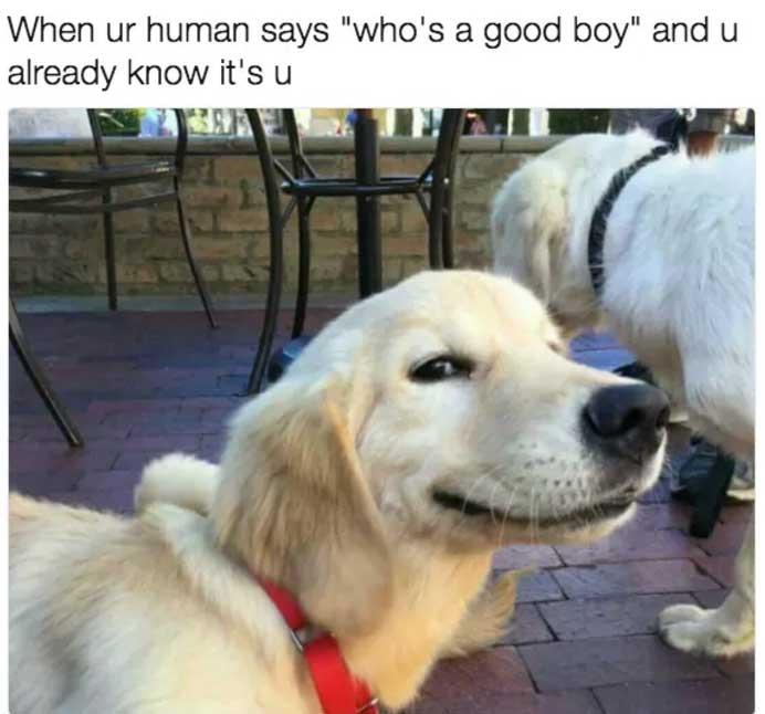 good boy dog meme