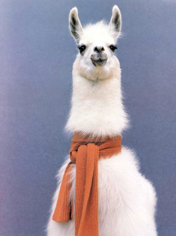 alpaca-funniest