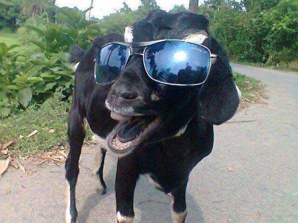 cool-goat