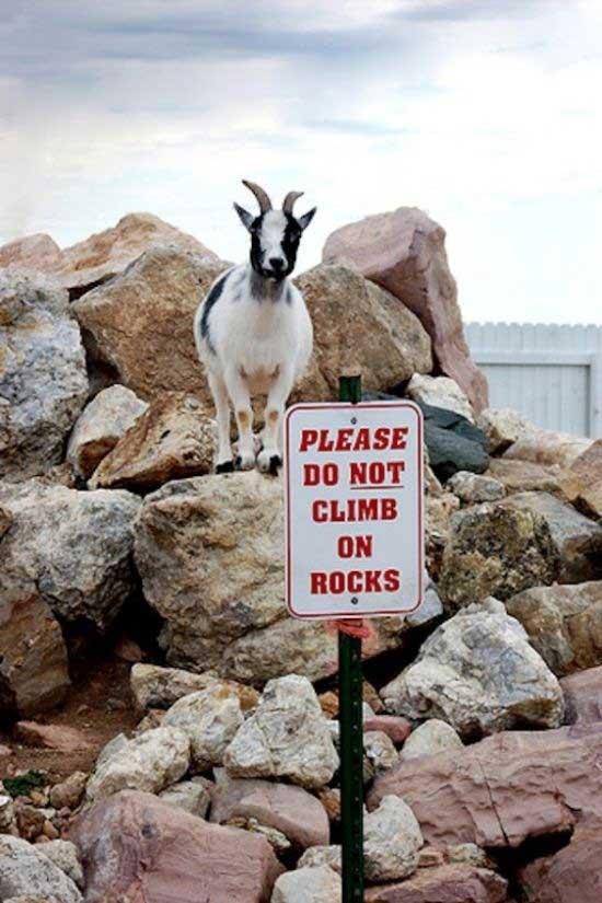 fainting-goats