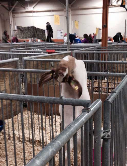 funny-goat-pictures