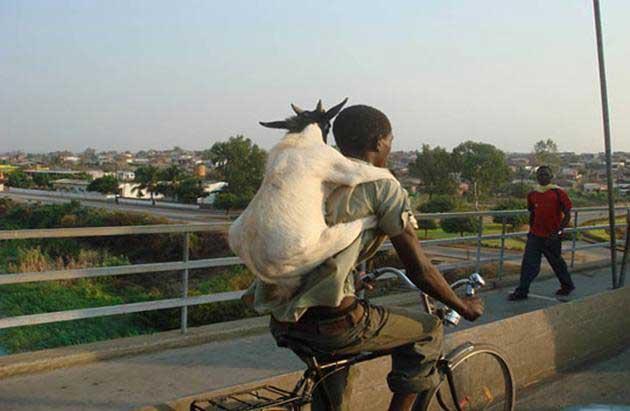 goat-motorcycle