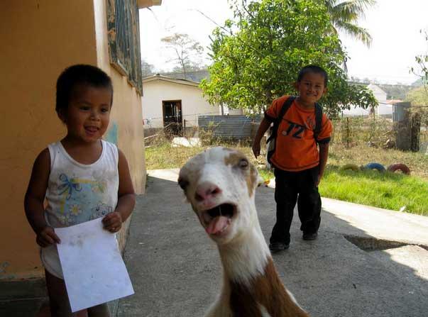 goat-photobomb
