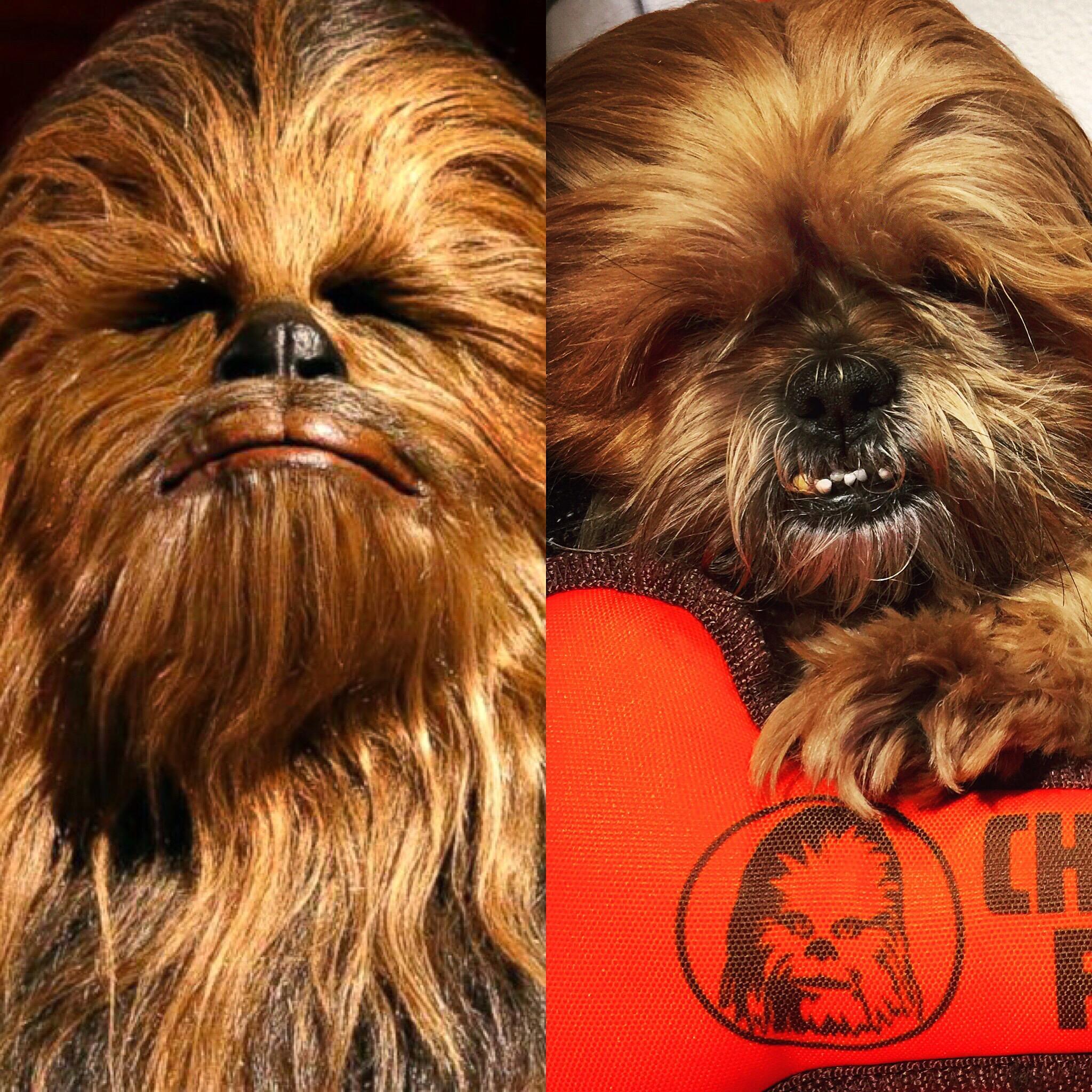 dog that looks like chewbacca - HD2048×2048