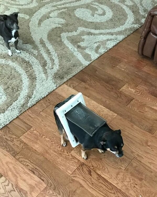 doggy door stuck on dog, Important animal images, Funny animal photos, pics of pets doing weird and funny things, funny moments with dog caught on camera, Facebook page compiles best animal images, impanimal