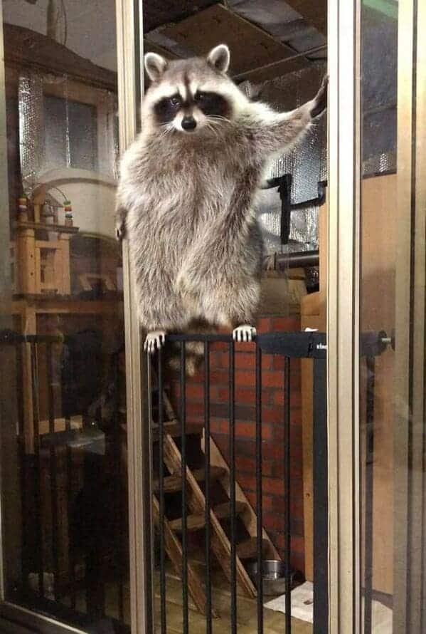 raccoon looking cool and leaning on a window, Important animal images, Funny animal photos, pics of pets doing weird and funny things, funny moments with dog caught on camera, Facebook page compiles best animal images, impanimal