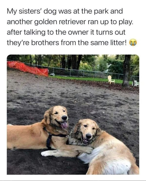 two dogs in the mud together, golden retrievers, Uplifting wholesome images, nice pictures of animals and people, humanity restored, wholesome pics, reddit, r wholesome, funny cute animals, feeling good
